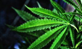 Police reports of arrest and marijuana plants seized
