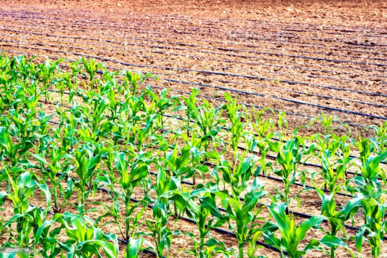 Read more about the article Agriculture can take lead to resuscitate Federation's economy