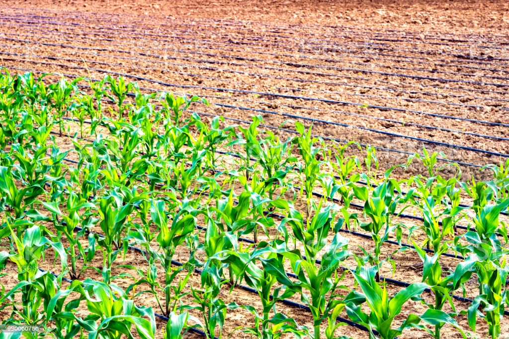 Agriculture can take lead to resuscitate Federation's economy