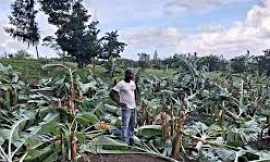 """No room in Nevis"" for acts of Vandalism on crops & livestock, says Premier"