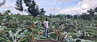 """You are currently viewing """"No room in Nevis"""" for acts of Vandalism on crops & livestock, saysPremier"""
