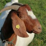 Superior Goat Flock Now available for Purchase in SKN