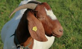 RUSVM donates superior breed of Goats to enhance meat production on Nevis