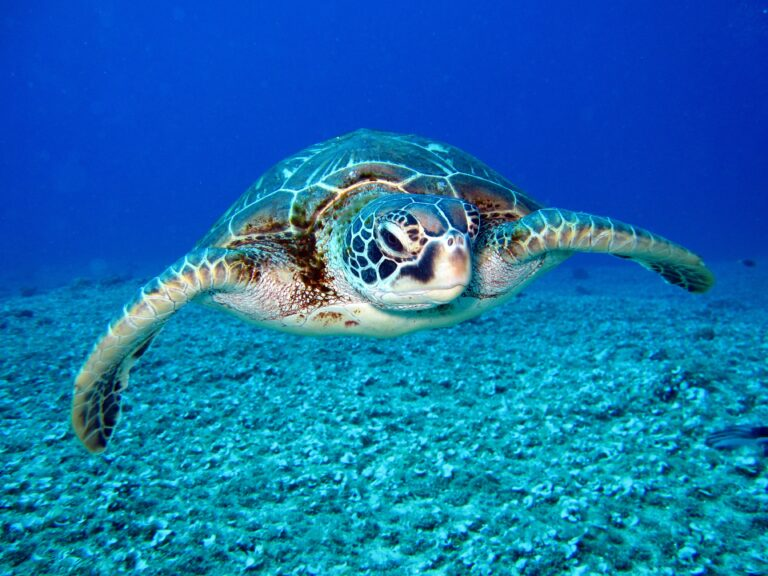 Read more about the article Captured Tagged Sea Turtle Returned to SKN waters