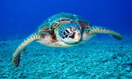 Captured Tagged Sea Turtle Returned to SKN waters